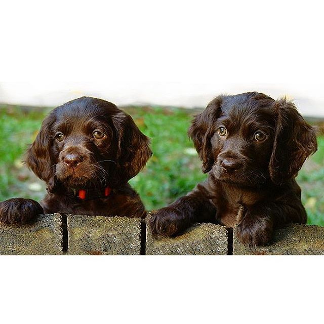 Instagram Photo By American Kennel Club May 21 2016 At 12 28am Utc Boykin Spaniel Puppies Boykin Spaniel Puppies