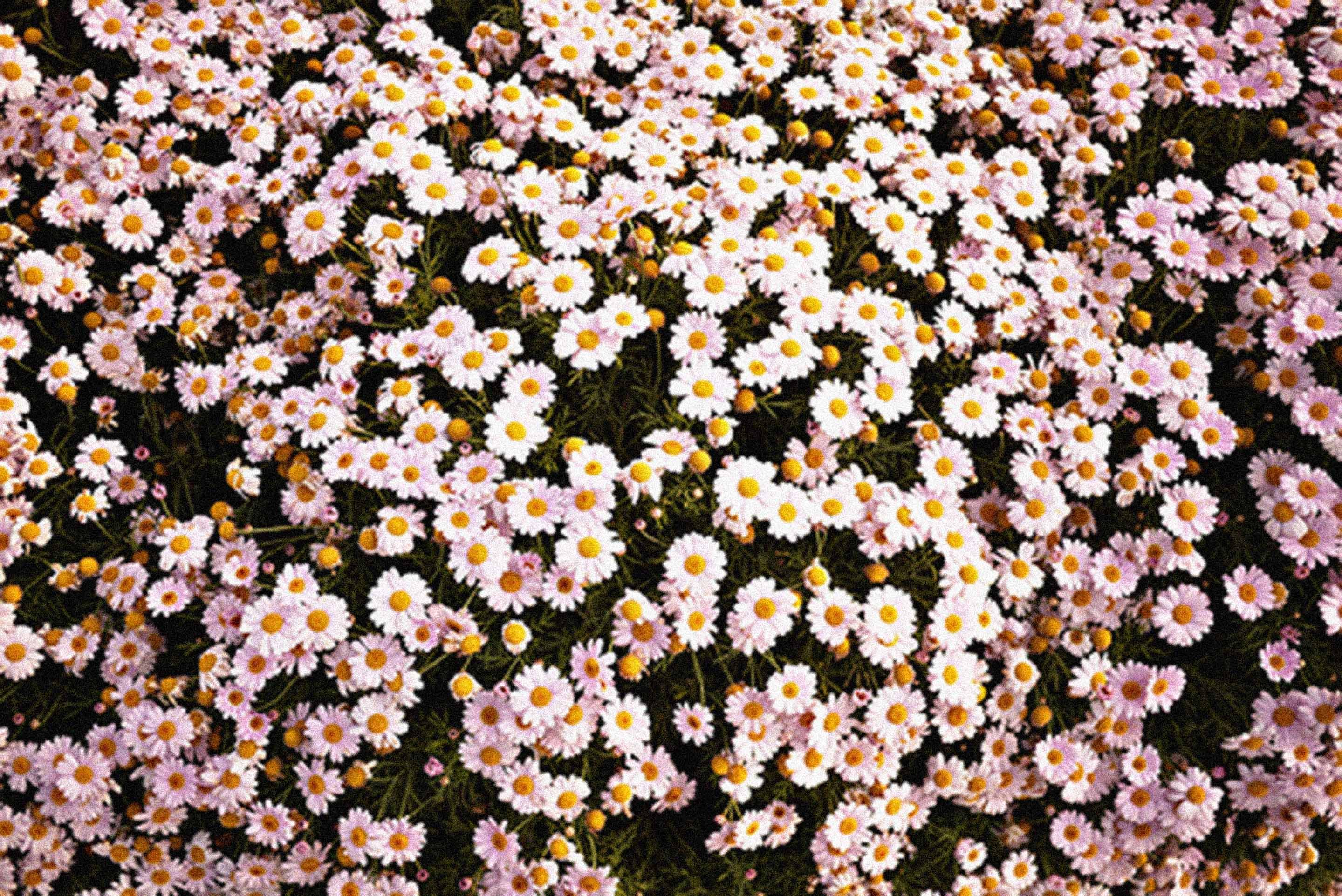 Daisies Background Floral Wallpaper Desktop Vintage Flowers Wallpaper Iphone Wallpaper Vintage