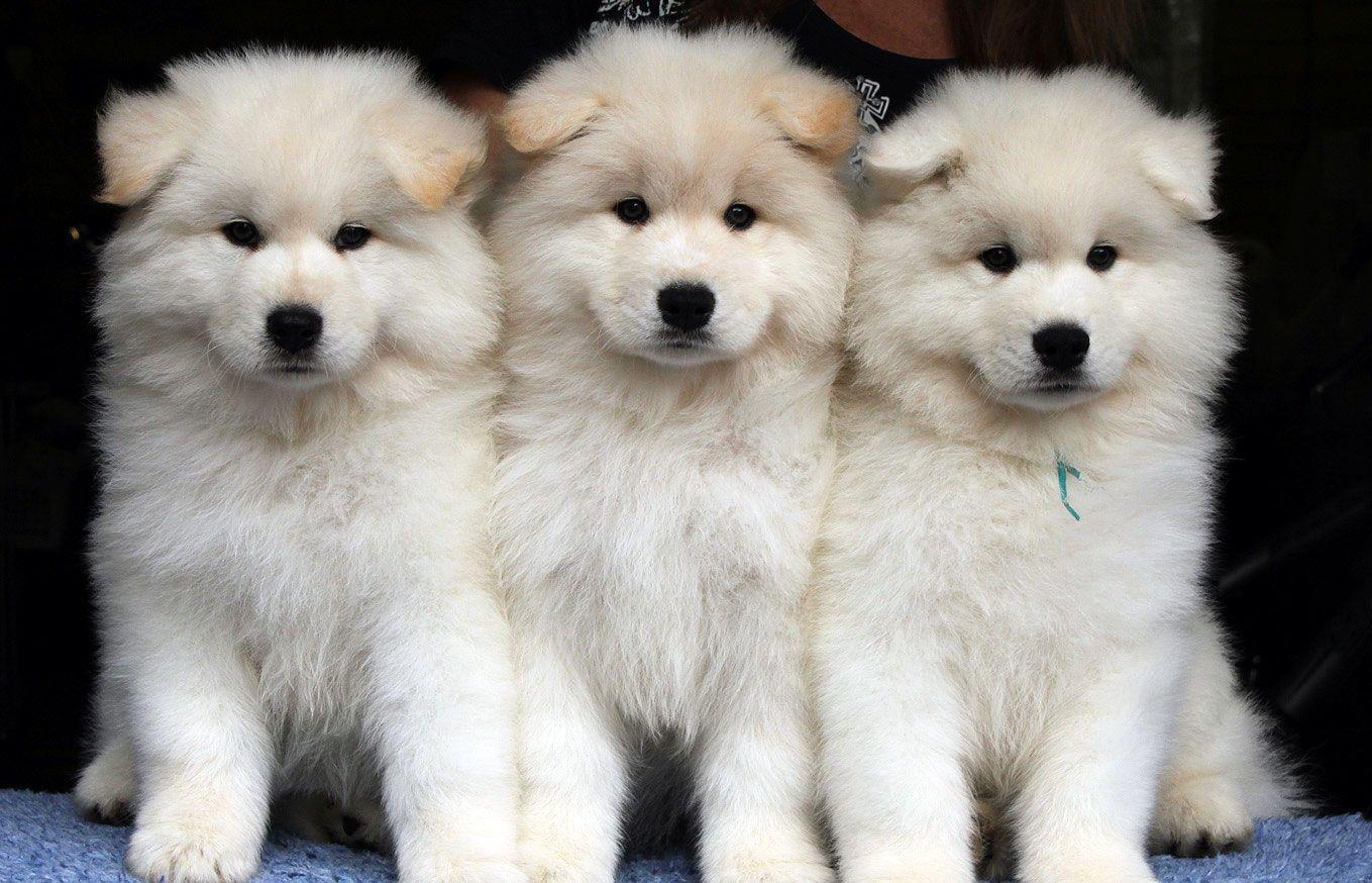 Samoyed Puppies Samoyed Dogs Samoyed