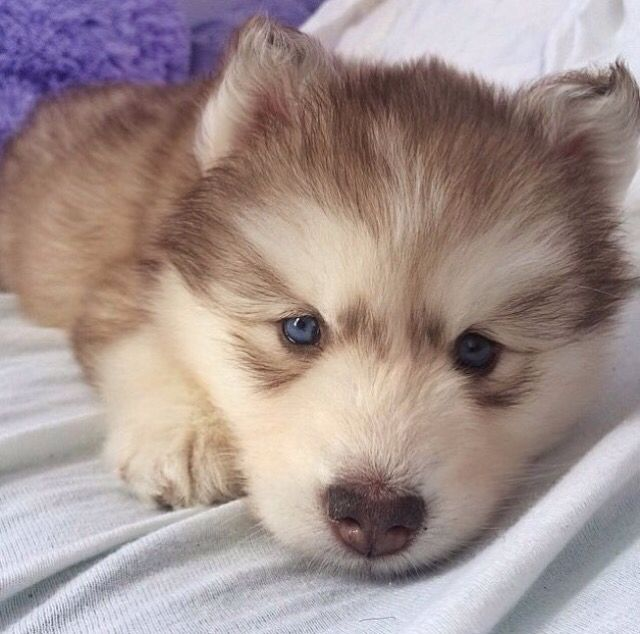 Light Brown Husky Laying Down Puppy Dog Pictures