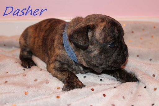 French Bulldog Puppy For Sale In Pittsburgh Pa Adn 61849 On Puppyfinder Com Gender Male Bulldog Puppies For Sale French Bulldog Puppy French Bulldog Puppies