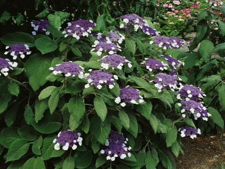 riesenblatthortensie hydrangea aspera 39 macrophylla 39 garten in 2018. Black Bedroom Furniture Sets. Home Design Ideas