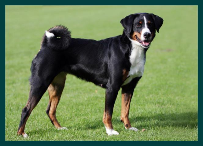 Appenzeller Sennenhund Entlebucher Mountain Dog Dog Breeds Appenzeller Dog