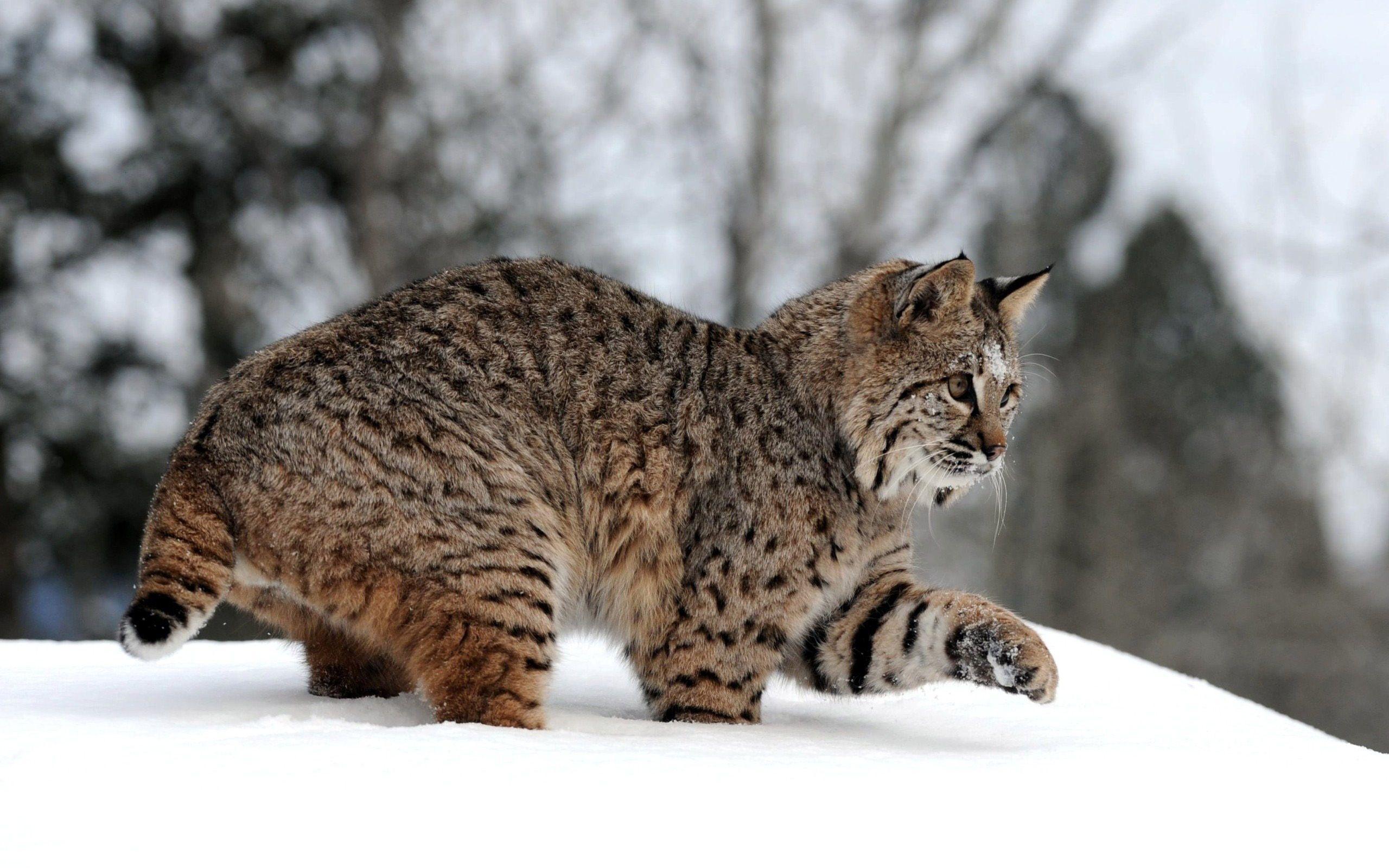 Canadian Lynx Stuffed animals, Lince, Gatos