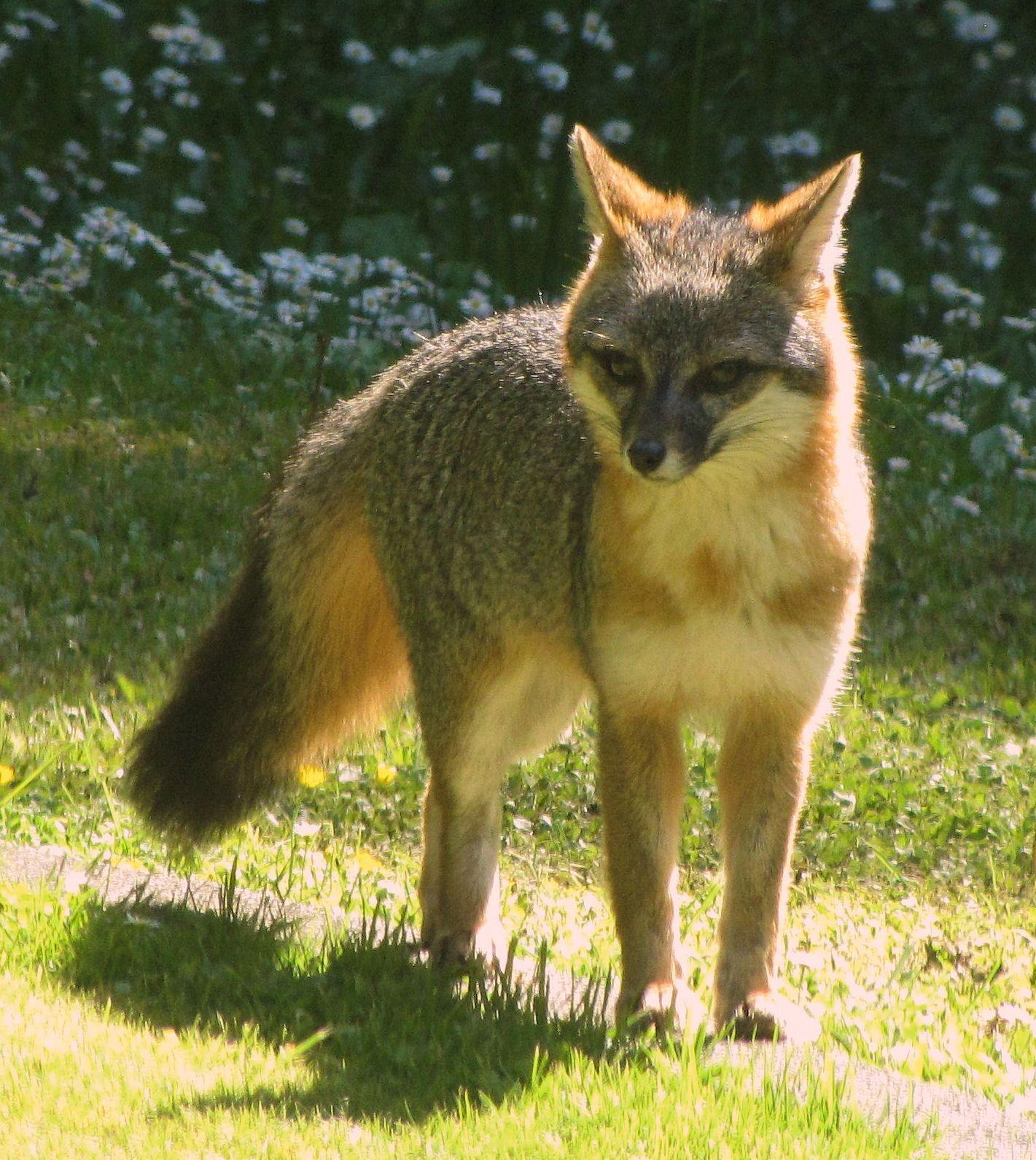 Fox in our backyard | Fuchs