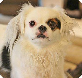 Newaygo Mi Pekingese Papillon Mix Meet Gwenifer A Dog For