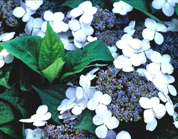 10 Bonny Blue Plants And Flowers English Flower Garden Hydrangea Varieties Beautiful Flowers Garden
