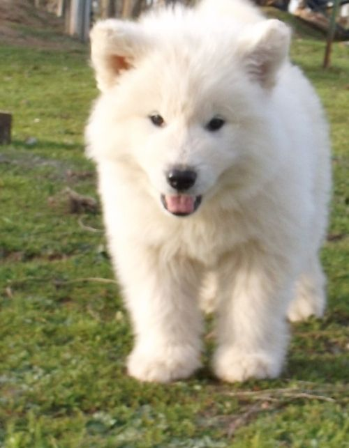 White Alaskan Malamute Pure White Alaskan Malamute Puppies For