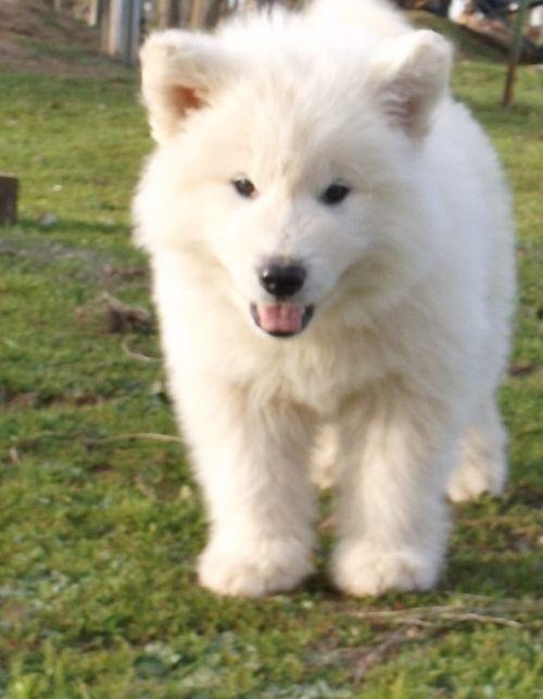 White Alaskan Malamute | Pure White Alaskan Malamute ...