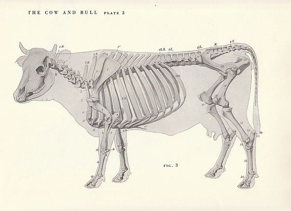 Vintage Cow and Bull Side Skeletal View Illustration Book Page ...