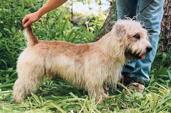 Glen of imaal terriers libertys glen of imaal terrier akc glen of imaal terriers libertys glen of imaal terrier akc thecheapjerseys Image collections