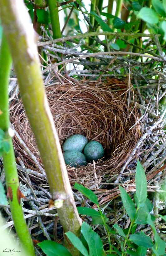 I absolutely love a nest of robin's eggs.  Is it just the color or the promise of spring?