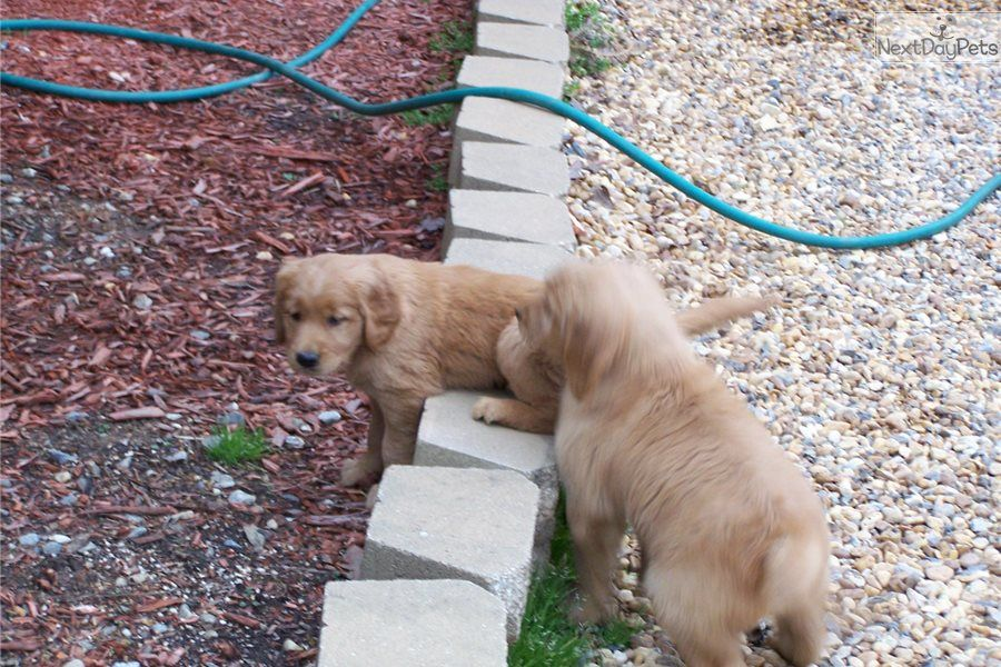 Golden Retriever puppy for sale near Atlanta,