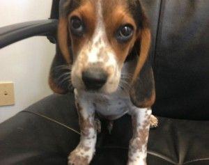 Freckles Is An Adoptable Basset Hound Dog In Winston Salem Nc