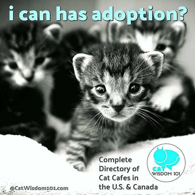 We compiled a new comprehensive CAT CAFE☕️😻Directory U.S. and Canada. Direct link in bio  #catcafe #catcafé #adoptdontshop #kittens #cafelife #nekostagram #coffee #cutekittens  #fun #adoptables #cutenessoverload