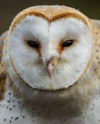 Chouette Effraie // Barn Owl -