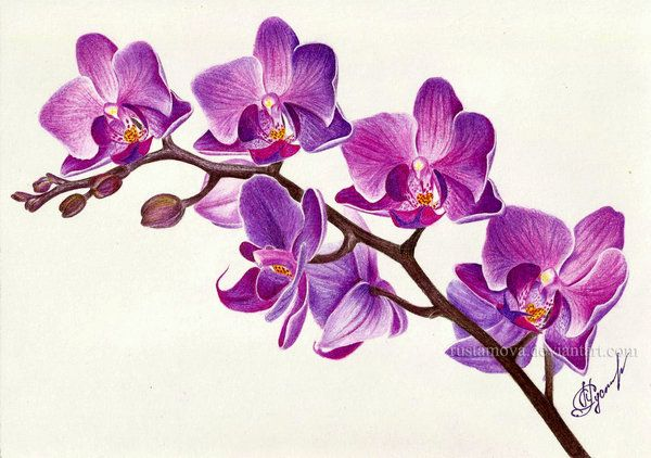 It Looks Like The Singapore S National Flower Vanda Miss Joaquim X Lovely Work Description From Rustamova Devi Orchid Drawing Flower Drawing Purple Orchids