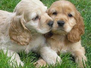 Cocker Spaniel Puppies For Sale Cocker Spaniel Puppies Spaniel Puppies Spaniel Puppies For Sale