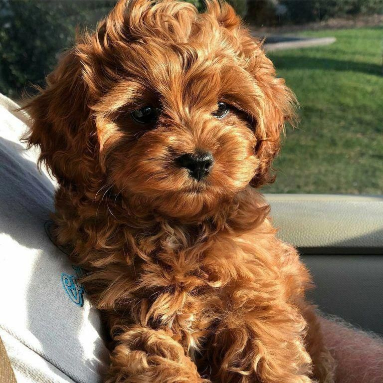 Pin by Osabuohien Rosella on blella in 2020 Cavapoo