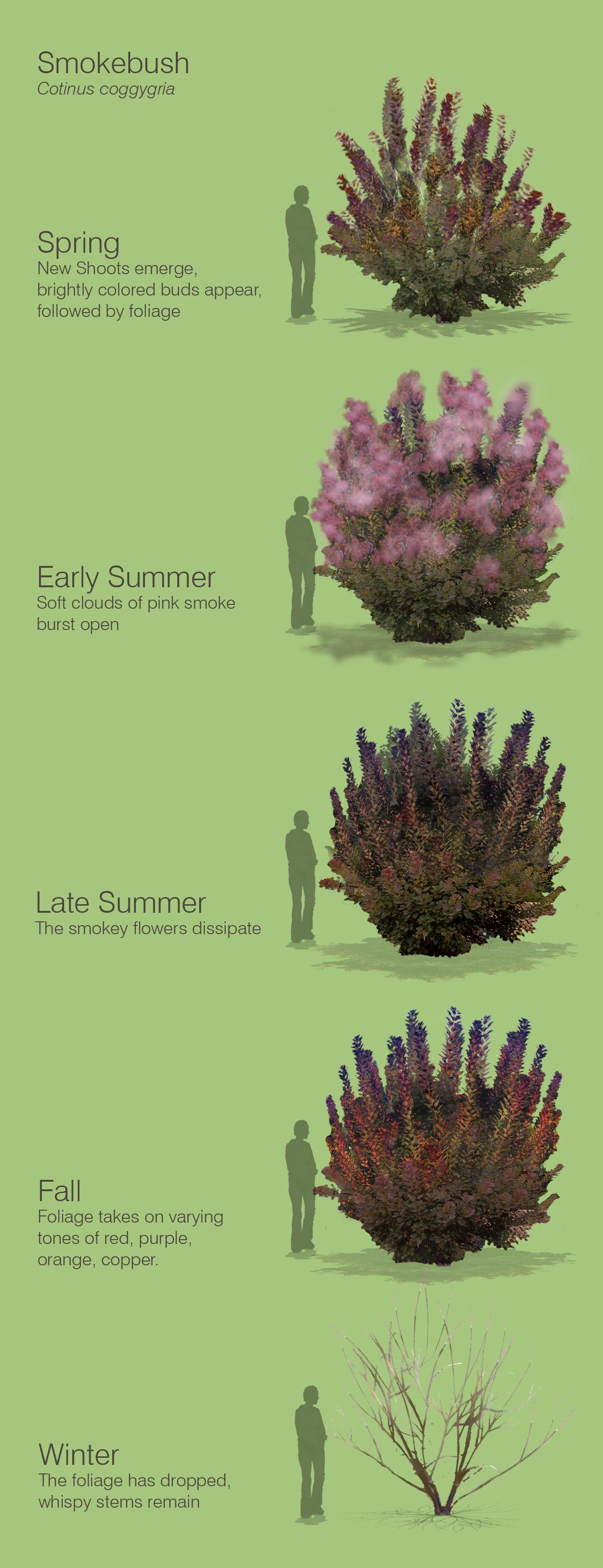 Smokebush Cotinus Coggygria Smoke Bush Garden Shrubs Smoke Tree
