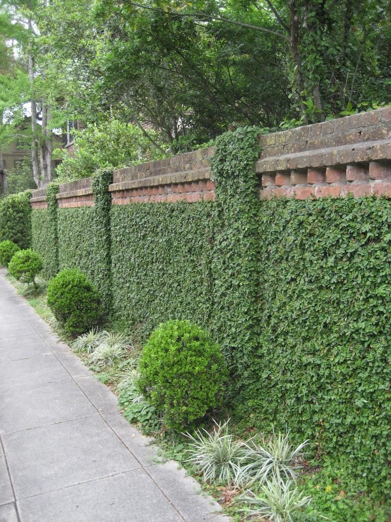 Creeping Fig Covers Wall Garden Landscape Design