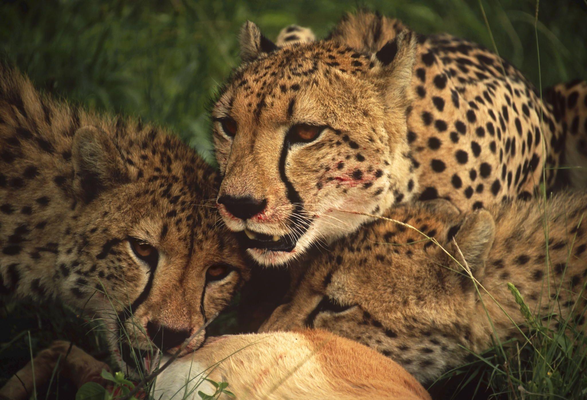 Feeding Frenzy Cat Bed Wild Cats Animals