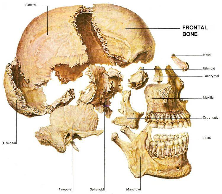 explosion skull ) parts skull | skeleton skull bones | human ...