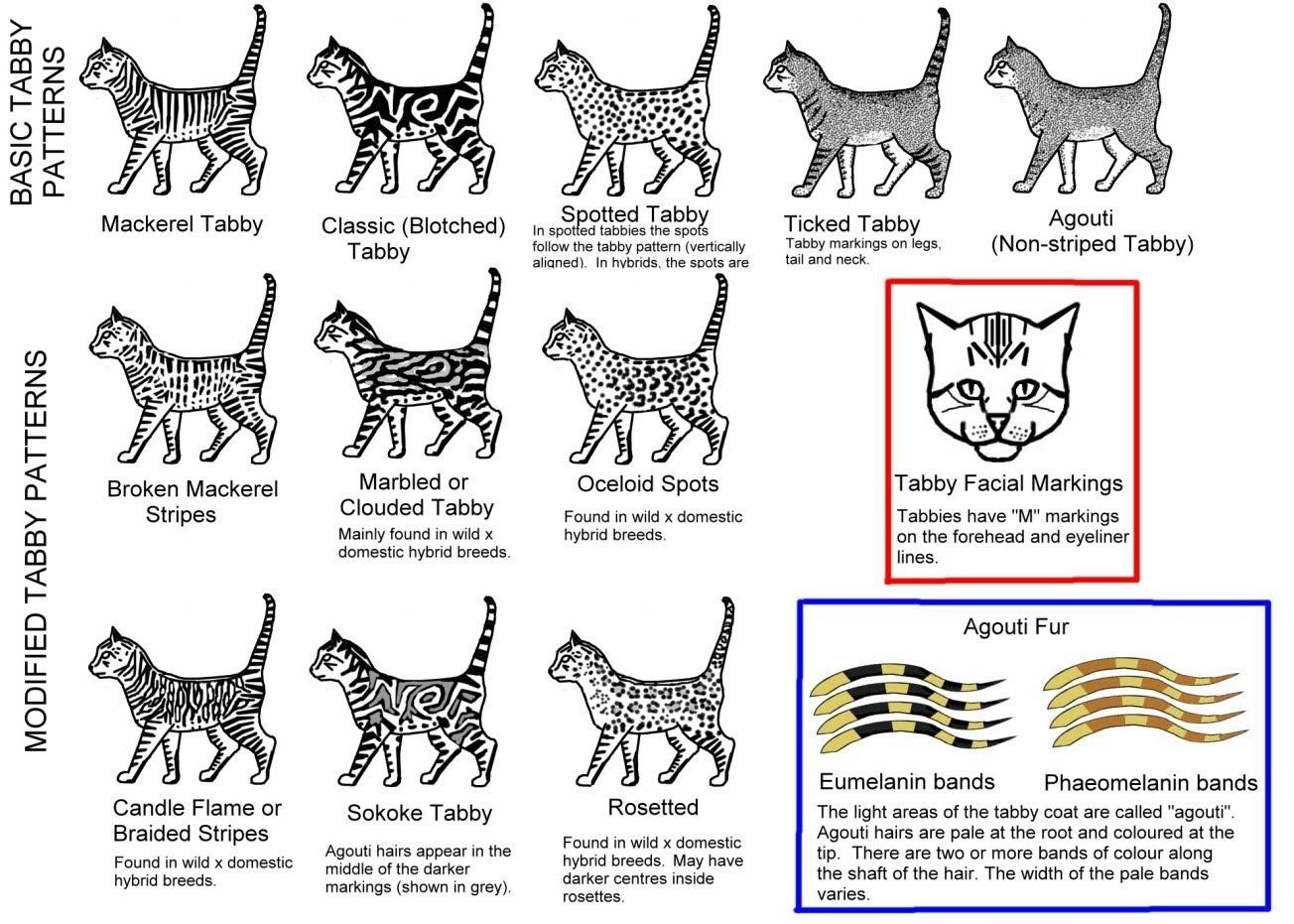 Types Of Cat Patterns Google Search Tabby Cat Silver Tabby Cat Bengal Cat