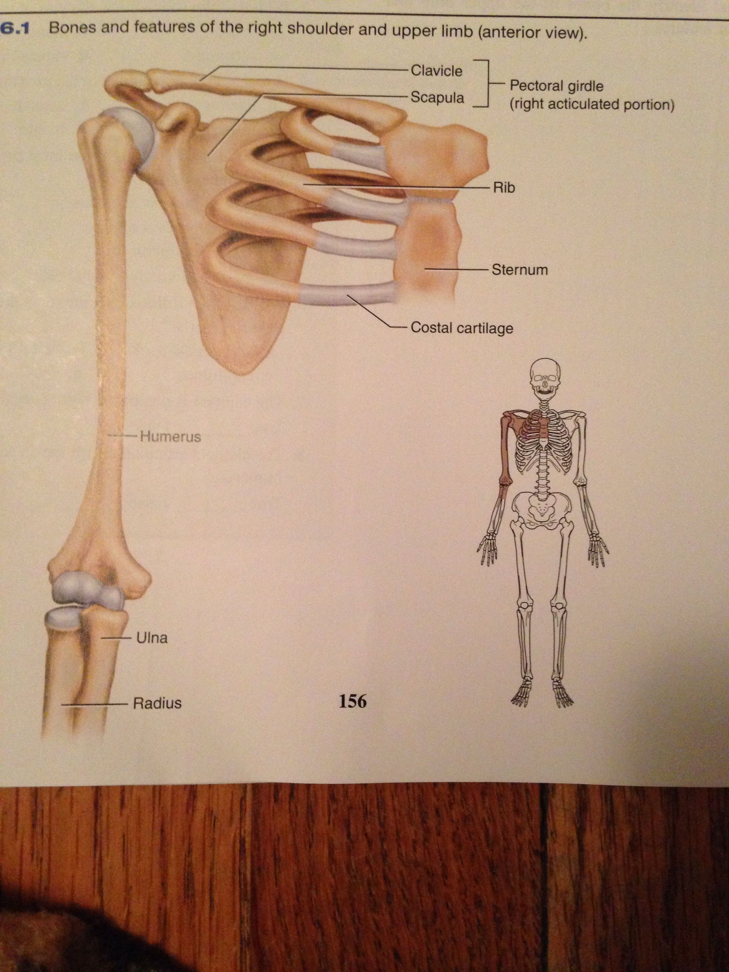 R shoulder and upper limb   Anatomy & physiology Some Bio Medical ...
