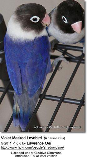 Violet Black Masked Lovebird Agaporni Personata Aves Exoticas Aves Hermosas Y Aves