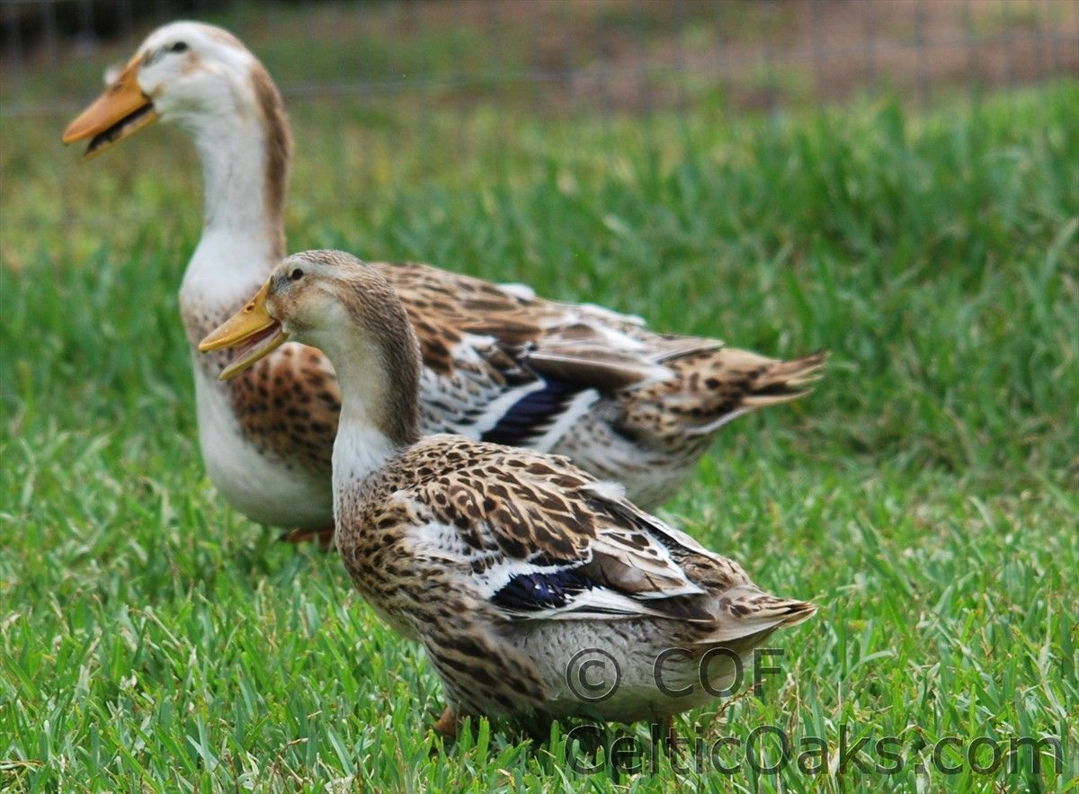 Silver Appleyard Ducks Rare Breed Endangered Meat Duck