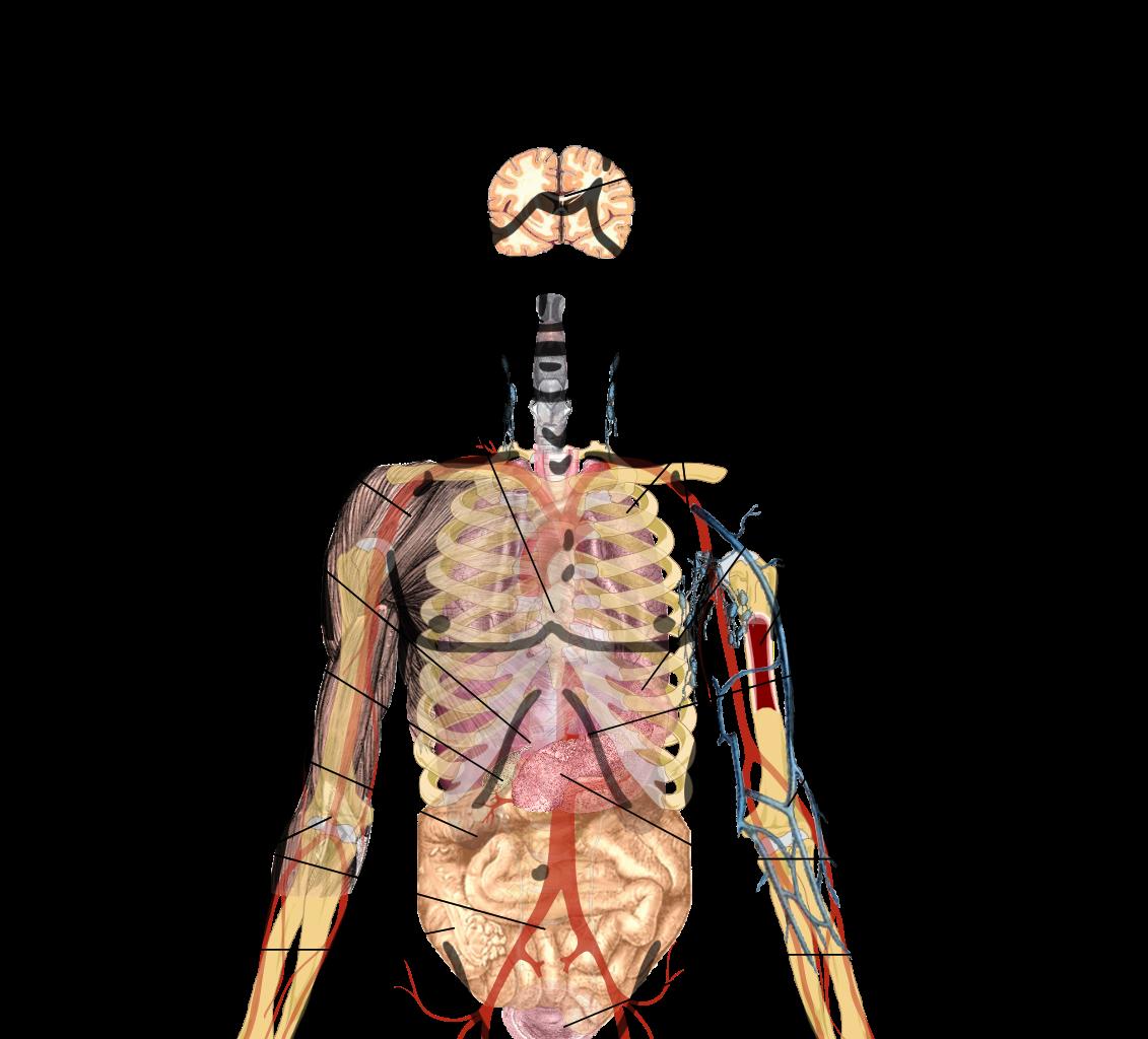 Human body and major organs anatomy pinterest human body pooptronica