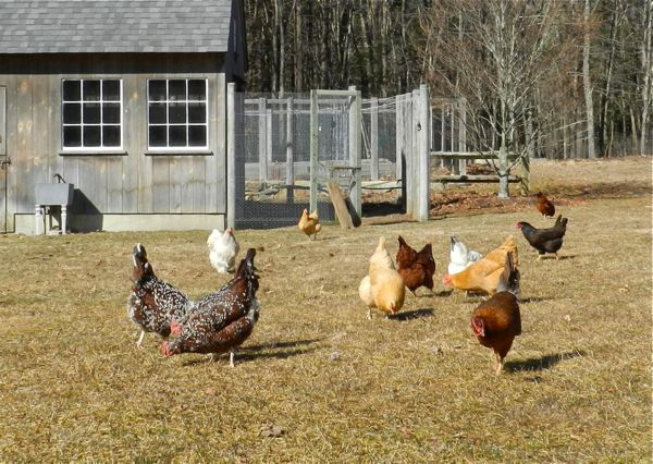 hens on lawn - Essay on Pecking Order | Chickens | Chickens