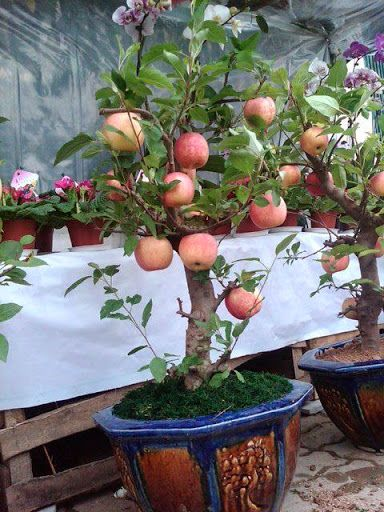 Pomar Em Vasos Fruit Garden Dwarf Fruit Trees Container Gardening Vegetables
