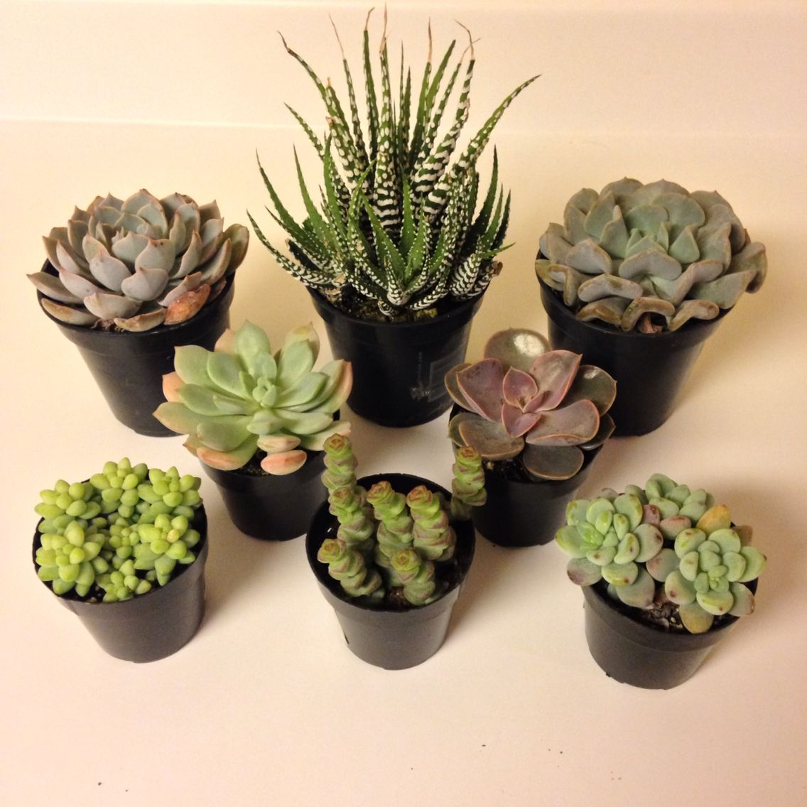 New Succulents Such Cute Little Indoor Plants Some Echeveria One Zebra Plant Etc