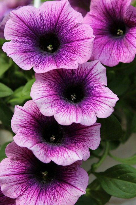 Petunia Rose Mauve Petunia Flower Old Farmers Almanac Petunias