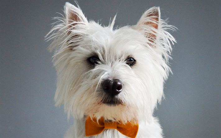 Download Wallpapers West Highland White Terrier Cute Dog Portrait Pets Small Dogs Besthqwallpapers Com Razas De Perros Toy Perros Lindos West Highland White Terrier