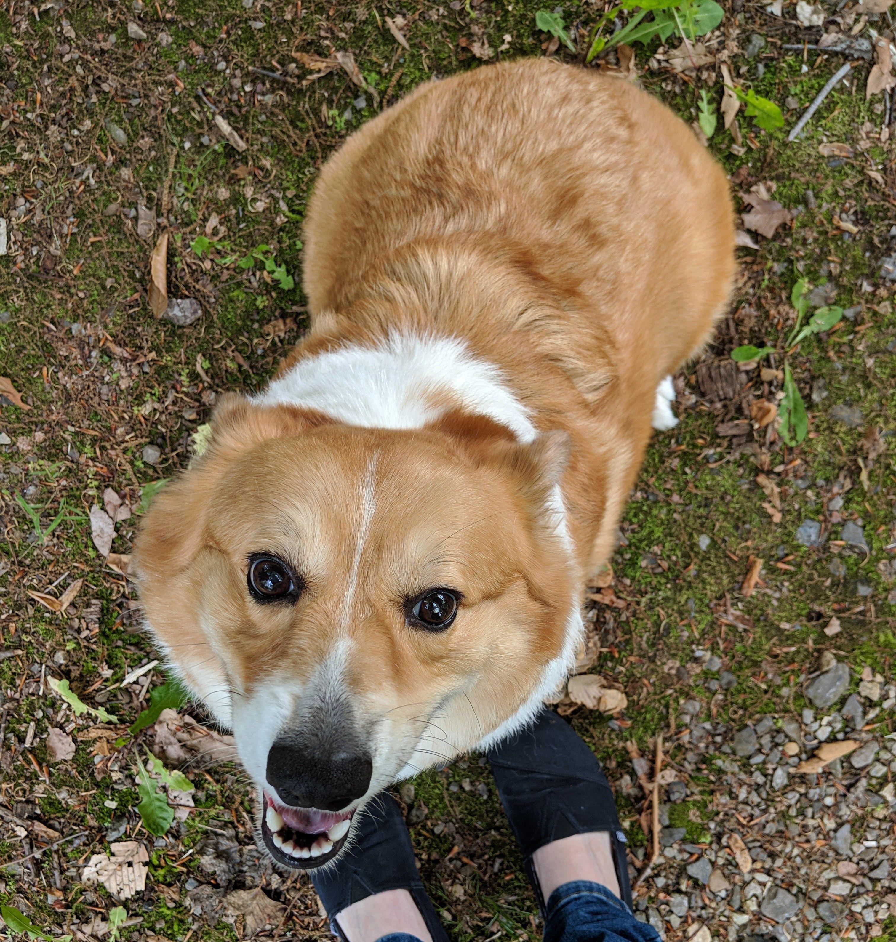 Welcome To Corgi Dog Life Hairless Dog