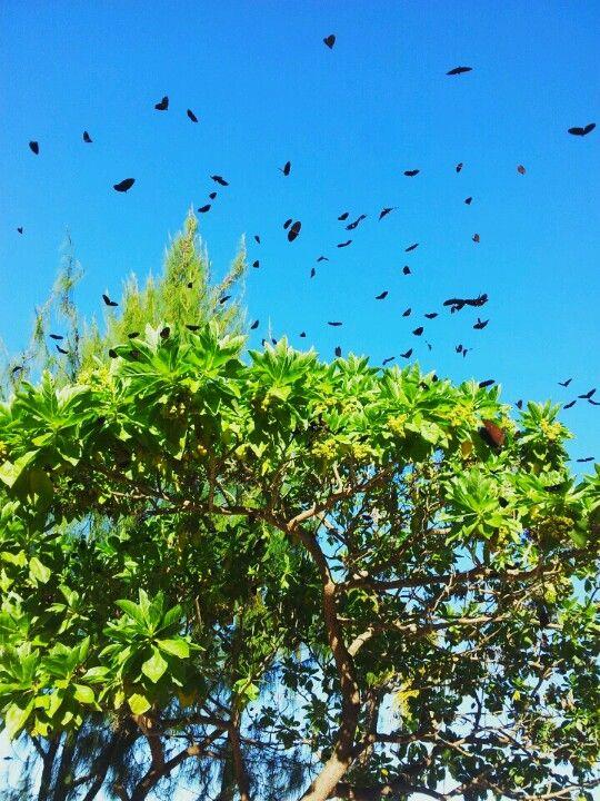 butterflies(guam)