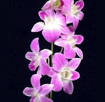 Pink Dendrobium Orchid Dendrobium Orchids Orchids Orchid Flower
