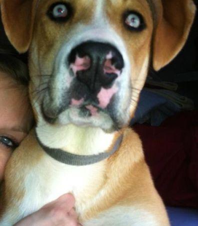 Siberian Husky/ Boxer mix Dogs, Siberian husky mix, Dog love