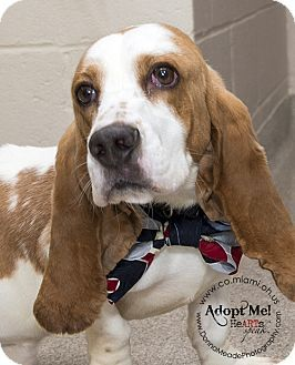 Urgent I Am At A Kill Shelter In Troy Oh Basset Hound Meet