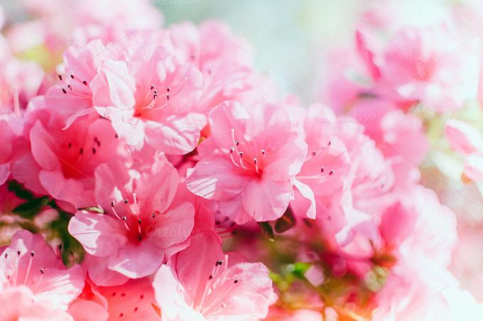 Pink Azaleas by Melanie Helena on @creativemarket