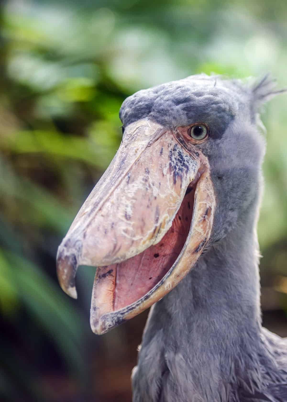 500+ Best Shoebill the Magnificent images in 2020   shoebill, shoebill  stork, animals