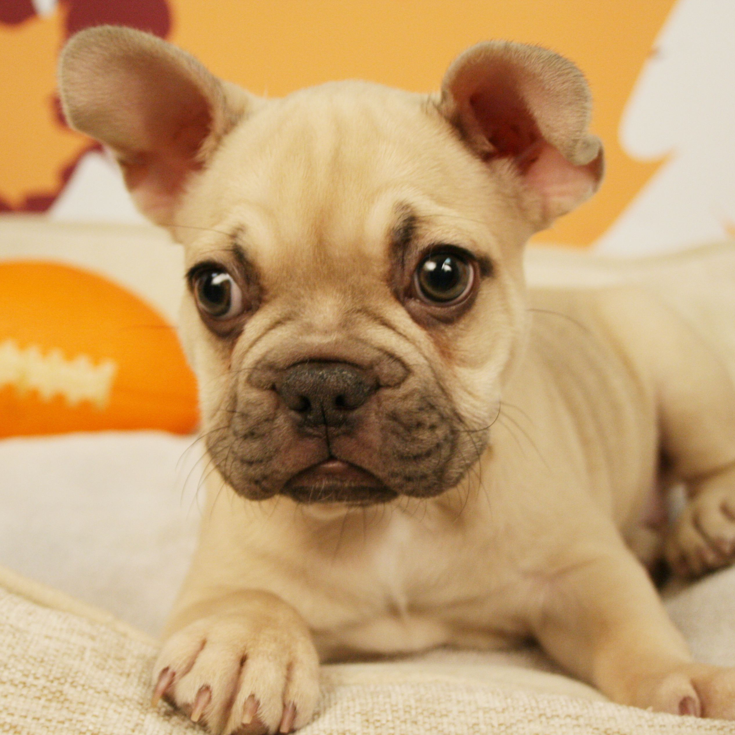 This Adorable French Bulldog Puppy Is Extra Special Bulldog