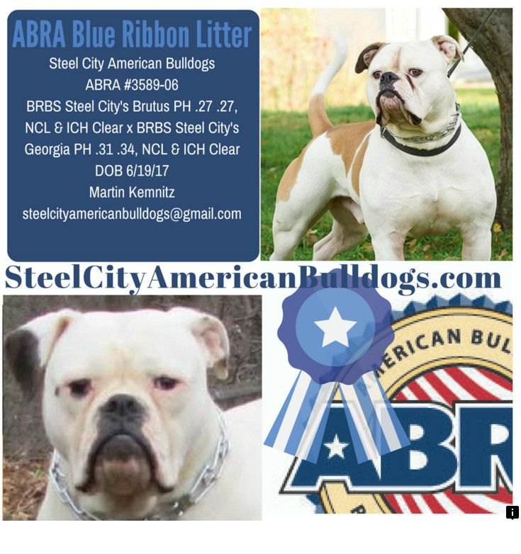 Click on the link to find out more american bulldog puppies  Please