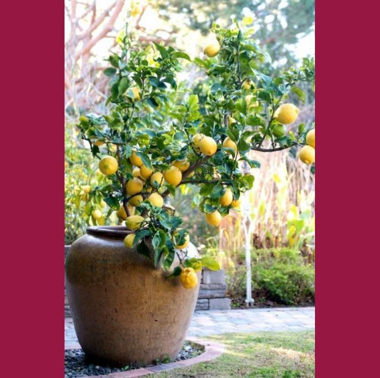 Our blogger Kyle shares one of her favorite gift ideas, potted fruit trees! Mothers Day is a popular holiday for gardening gifts!