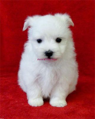 Houston Male Akc Maltese Puppy 895 Cutest Puppy Ever