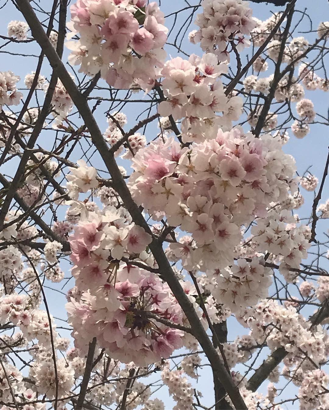 Japanese Cherry Tree Blossoms Japanese Cherry Japanese Cherry Tree Blossom