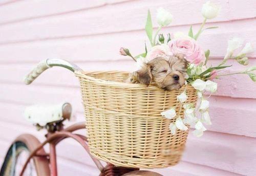 puppy in a bike basket